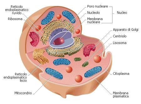CELLULE PROCARIOTE - CELLULE EUCARIOTE