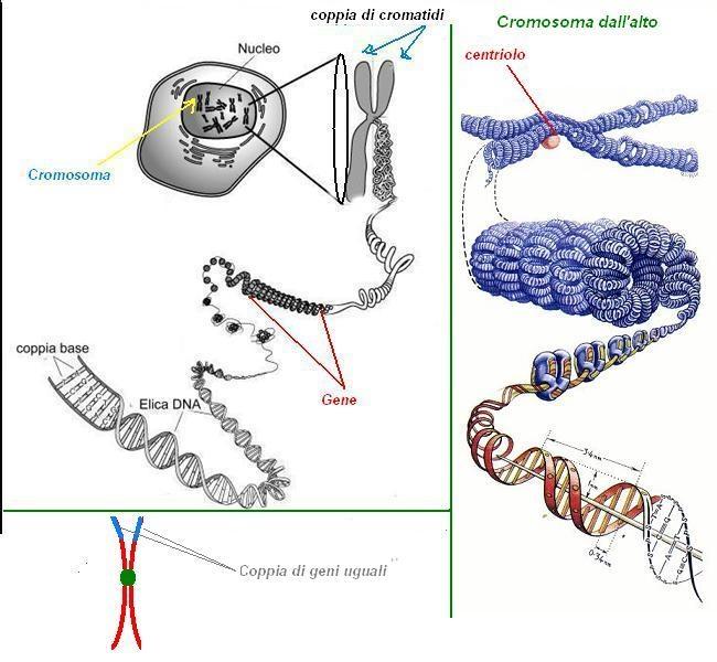 DNA & Cromosomi