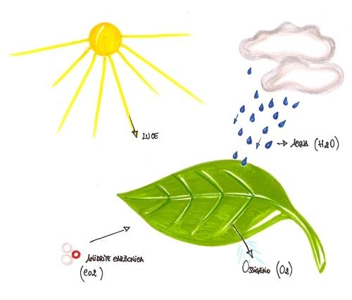 immagini fotosintesi